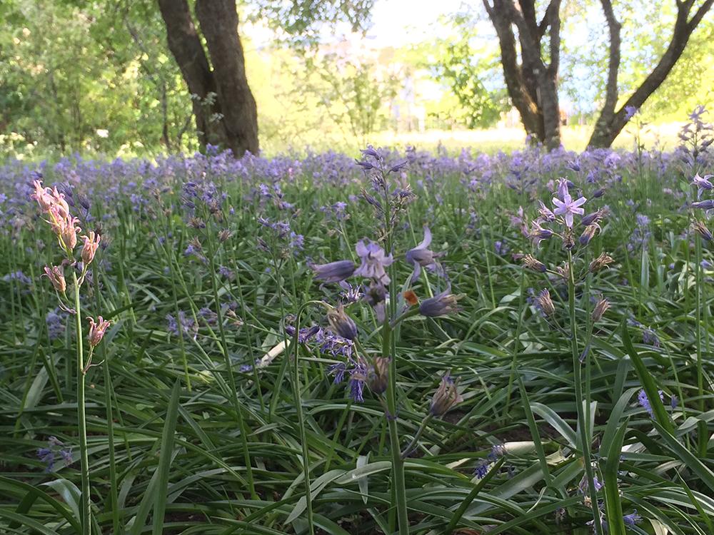 Blommande Klockhyacinter i Botaniska trädgården 1 juni 2016