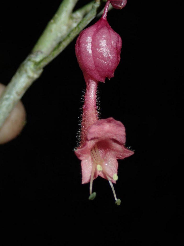 Figur 1. Vitex sp. nov., en obeskriven kransblommig växt (Lamiaceae), samlad i sekundär regnskog på Madagaskars östkust. Foto: Ulf Swenson (19 april 2016).