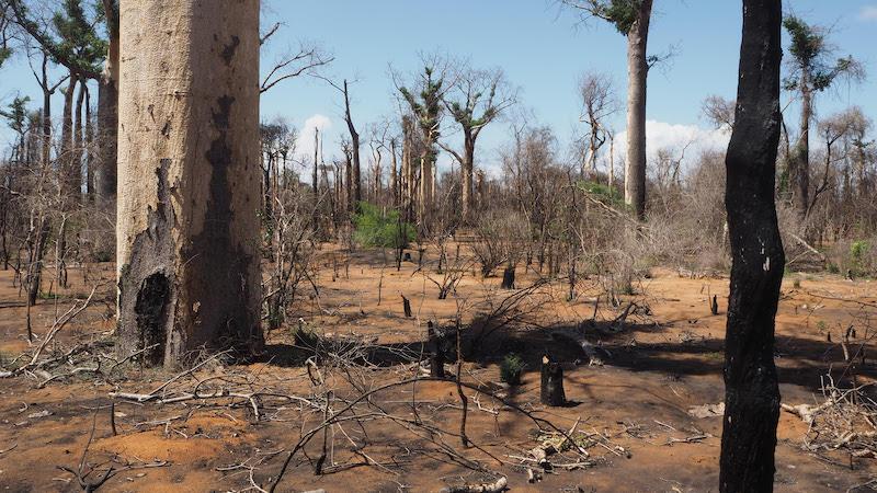 Figur 2. Förlusten av livsmiljöer på Madagaskar är enorm. Här är spåren efter en brand som startade för 12 år sedan i en baobab-skog norr om Toliara. Foto: Ulf Swenson (29 januari 2018).