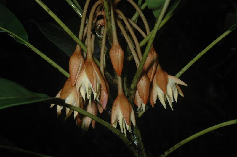 Figur 5. Bemangidia lowryi (Sapotaceae), ett nybeskrivet monotypiskt släkte, känt endast från Bemangidy forest. Foto: Pete Lowry.