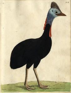 Hjälmkasuar, en art som fanns i den akademiska trädgården 1775-1783.